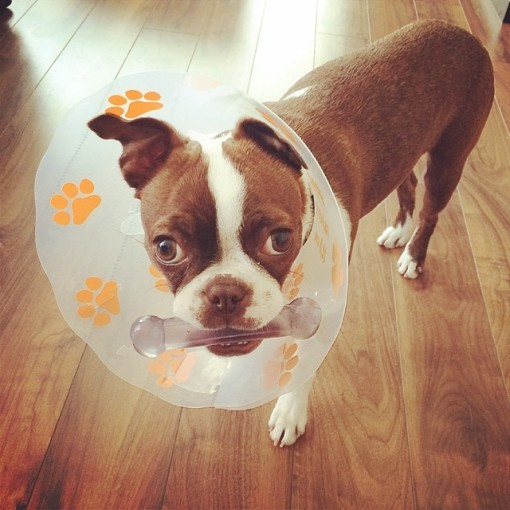 Boston Terrier Cone of Shame Lampshade