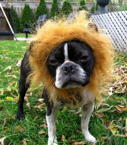 Lion Costume Boston Terrier Dog Photo